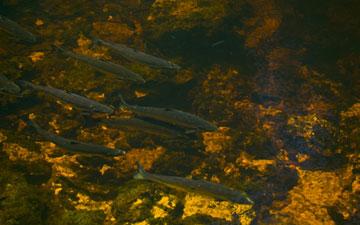 Underground Salmon Pool