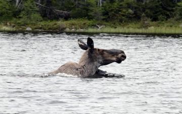 Swimming Moose