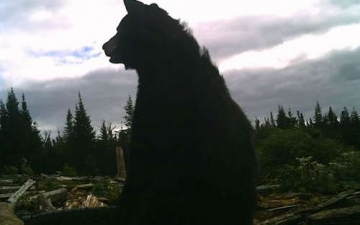 Web Cam Black Bear